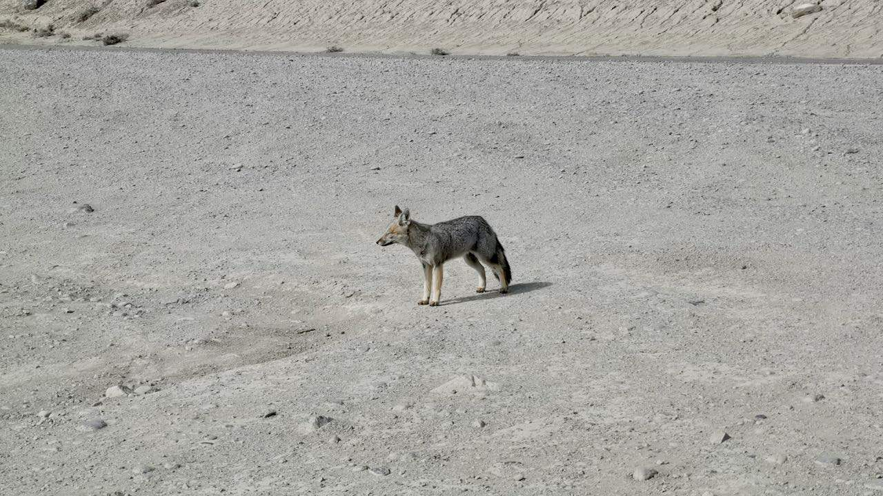A fox seen from the road in Patagonia