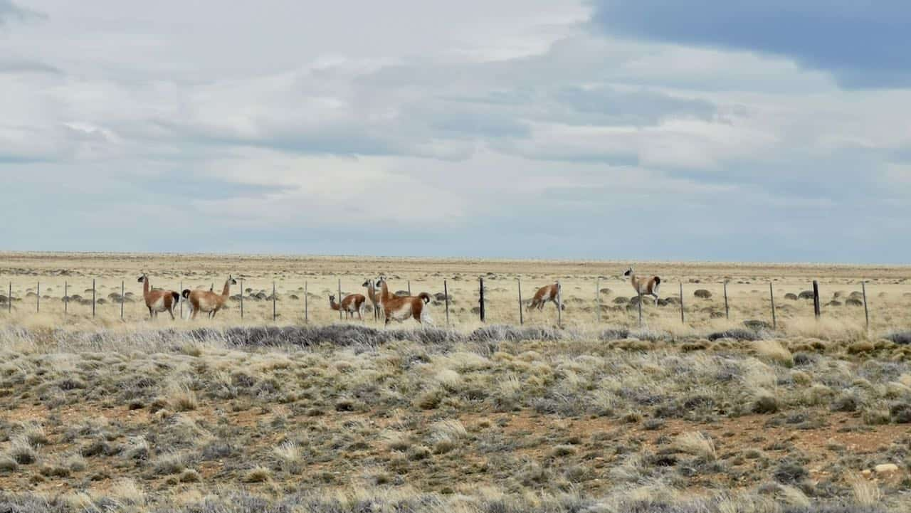 Guanacos seen from the road in Patagonia